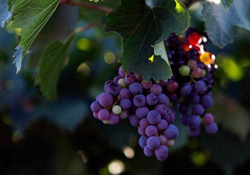 Ruta del Vi del Priorat i Montsant